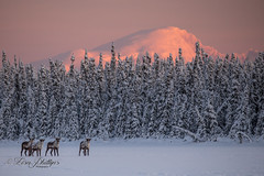 untitled-43 (phillipsalaska) Tags: lake louise alaska glow alpenglow majestic caribou landscape wilderness cold winter new year