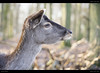 Deer in the Forest (Jannik Peters) Tags: contax zeiss 100300 animals deer forest tele phillip reeve
