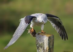 White Tailed Kite (E_Rick1502) Tags:
