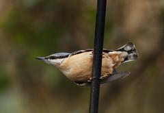 Nuthatch (Sitta Europaea) (Eastern Davy) Tags: nuthatch sittaeuropaea bird wildlife wild outdoor lochwinnoch scotland canon 70d 300mm unlimitedphotos