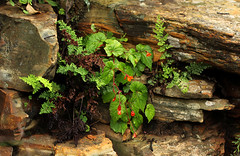 Begonia sutherlandii (zimbart) Tags: africa southafrica mpumalanga buffelskloof flora angiosperms cucurbitales begoniaceae begonia begoniasutherlandii