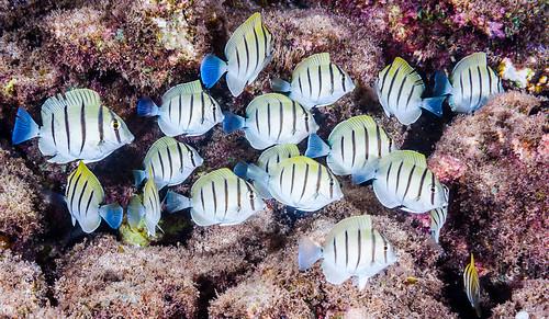 Convict Surgeonfish, juveniles - Acanthurus triostegus