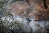 Méli-mélo végétal sur lit de brume et d'eau (callifra7) Tags: canoneos70d efs18135mmf3556isstm marais etang branchages brume