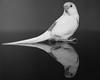 Budgie x 2 (matt j fryer) Tags: budgie bird pet photography love mirror reflection zeiss a7r