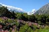 Wild lupins in bloom in Mount Cook (Aoraki) / New Zealand (anjči) Tags: newzealand laketekapo tekapo lakepukaki pukaki mountcook aoraki