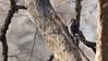 Red-headed Woodpecker 1 (mausgabe) Tags: olympus em1 olympusm40150mmf28 olympusmc14 nyc centralpark 68thstreet bird woodpecker male juvenile redheadedwoodpecker