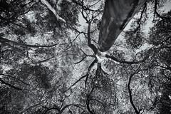 Upward (glo photography) Tags: california glenellenca gloriasalvanteglophotography northerncalifornia sonomacounty branches leaves mono sky trees trunk upward winecountry wood