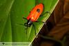 Leaf Beetle 20160731_1858.jpg (Abbott Nature Photography) Tags: animals arthropodaarthropods chrysomelidaeleafbeetles coleopterabeetle hexapoda insectainsects invertebratainvertebrates organismseukaryotes polyphaga madrededios peru pe