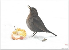 time for breakfast (mayflower31) Tags: winter schnee snow apfel apple vogel bird amsel blackbird