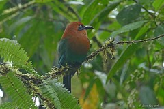 1.08216 Motmot à bec large / Electron platyrhynchum platyrhynchum / Broad-billed Motmot (Laval Roy) Tags: colombie colombia aves birds oiseaux lavalroy motmotàbeclarge electronplatyrhynchumplatyrhynchum broadbilledmotmot momotidés coraciiformes