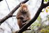 20170131-8M7A5475 (chris_peng) Tags: 獼猴 猴子