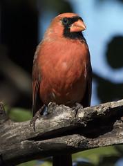 cardinal bird (watts_photos) Tags: cardinal bird male northern canon