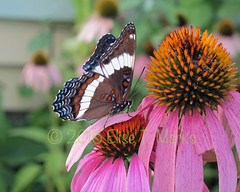 White Admiral Butterfly 3 (Elise Creations & Passions) Tags: redspottedpurplebutterfly insect insects photobyelisemarks elisecreationspassionsphotography elisemarksphotography vermontnaturephotography flora canon outdoors landscape plant foliage greenleaves greenfoliage burlingtonvermont garden summer2016 summerflowers flowers flowerphotography flower flowerbuds pinkflower pinkflowers pinkpetals vermontflowerphotography echinacea echinaceaflowers herb