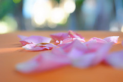 Make new memories... (Leitratista) Tags: flower petals nature experiment explore moment wordless story lovephotography hobby home pink bokeh dof deep thought memory nikonshots nikoncapture nikond3400 kitlens 1855mmafpvrkit throughherlens composition blur
