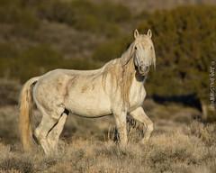 Old Man Wild Horse (Explored) (Jami Bollschweiler Photography) Tags: wild horse bachelor sunrise utah onaqui herd great basin wildlife stallion white missing lip