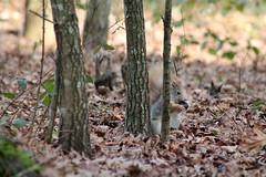 IMG_1968 (marianabmcruz) Tags: parquebiológicodegaia parquebiológico biologicalpark outdoors outdoor nature natureza animal animals fauna esquilo squirrel squirrels
