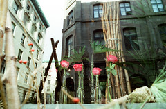 Roses and Reflections (Georgie_grrl) Tags: marchmontrealmission 50thbirthdaytrip withgeetha celebration party adventure montreal quebec pentaxk1000 rikenon12828mm cinestillfilm800tungsten roses flowers window reflections architecture buildings vases