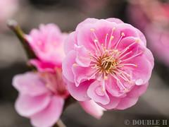 Ume blossoms at Nagaoka Tenmangu shinto shrine 2017.3 (10) (double-h) Tags: omd em10markii omdem10markii mzuikodigitaled60mmf28macro nagaokatenmangu shintoshrine shrine nagaokatenjin nagaokakyo nagaokakyocity kyoto 長岡天満宮 神社 長岡天神 長岡京 長岡京市 京都 ume umeblossom blossom flower japaneseapricot prunusmume plumblossom umetree 梅 ウメ 花 梅林