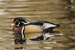 20170312 King's Pond Wood Duck2