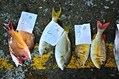 Fish for Sale (Mark Tindale) Tags: ribbet fishingport fishing taiwan taiwanese eastcoast national scenic fish sustainability overfishing seafood port chenggong market auction chinese carpark shark population pacific ocean sea boat 成功鎮 成功 taitung