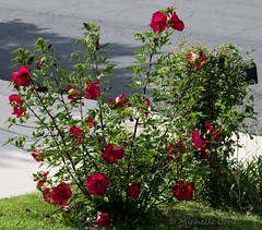 August 15, 2015 - A beautiful Thornton hibicus bush. (Michelle Jones)