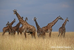 Masai giraffe, Giraffa camelopardalis tippelskirchi (Vitor Estrela Santos) Tags: wild kenya wildlife sony beautifulpeople girafa giraffacamelopardalistippelskirchi dscv3 beautifulnature sonydscv3 masaigiraffe masaimaranationalreserve beautifulworld qunia vitormes