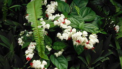 Bleeding Heart (Images by Jeff - from the sea) Tags: flowers plant vine bleedingheart ferns creeper