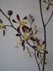 Encyclia alata? (its label mistakenly said it might be Enc. Orchid Jungle) (cieneguitan) Tags: flower flora lan bunga orkid okid angrek anggerek