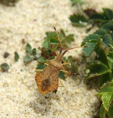 Syromastus rhombeus - Les Blanches Banques Dunes, Jersey 2015a (Steven Falk) Tags: steven falk rhombic leatherbug rhombeus syromastus