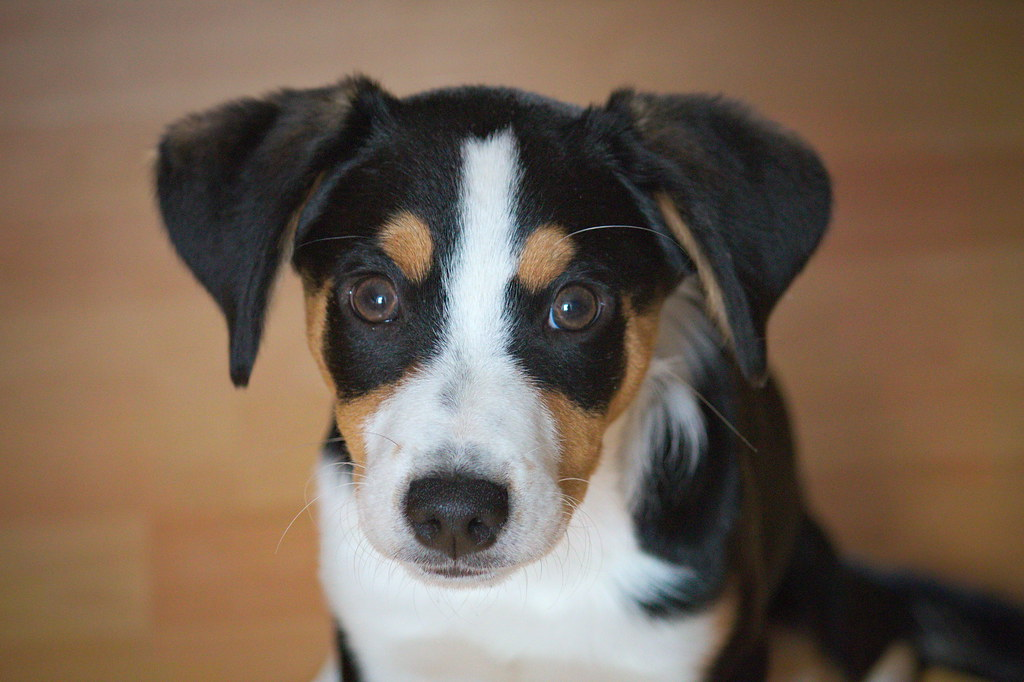 The World S Best Photos Of Mischling And Sennenhund Flickr