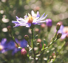 Autumn Asters (ekaterina alexander) Tags: pictures flowers autumn england flower nature gardens garden photography sussex petals purple september national trust buds bud alexander asters aster nymans ekaterina starwort