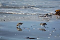 Sanderlings on the shore (supersky77) Tags: ocean bird beach scotland atlantic atlanticocean spiaggia uist oceano uccello atlantico sanderling southuist ecosse scozia calidrisalba bagnasciuga oceanoatlantico howmore tobhamor piovanello