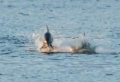 Dinner time (Trojan Wonder) Tags: sea beach birds sand florida dolphins 2015 gasprillastatepark