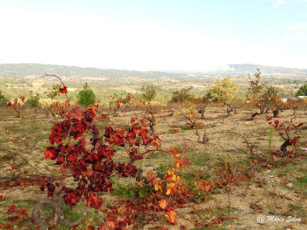 Águas Frias (Chaves) - ... a vide vestida com as cores de outono ...