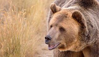 Grizzly Girl