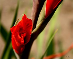 Quand je n'ai pas de bleu, je mets du rouge. (Bouteillerie) Tags: red flower macro floral fleur fleurs canon garden rouge jardin t botanique horticulture closion agricole vgtal languageofflowers languageofflower bouteillerie glauls