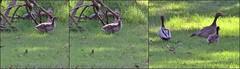 Australian Wood Ducks with Chick - 2015.10.03 (Brissy Girl - Jan Anderson) Tags: chenonettajubata australianwoodduck familyanatidae seqldaustralia australianwoodduckfamily