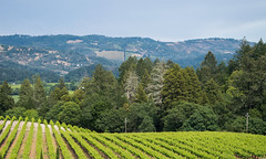Vineyard - Castello di Amorosa - Calistoga - California - 17 May 2015 (goatlockerguns) Tags: california county usa west castle coast vineyard wine unitedstatesofamerica calistoga grapes napa castellodiamorosa