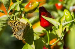 Mariposa (seguicollar) Tags: plantas mariposa vegetacin fruto lepidoptero