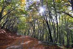 Salendo nella faggeta di monte Fogliano (giorgiorodano46) Tags: leila bosco faggio faggi faggeta fogliesecche monticimini stradanelbosco montefogliano novembre2015