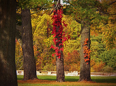 color climbers (MissyPenny) Tags: autumn trees fall nature leaves outdoor pennsylvania buckscounty levittown treetrunks southeasternpa
