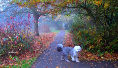 Old English Autumn (Terry Kearney) Tags: autumn trees england dog dogs nature weather fog rural canon landscape daylight october europe flickr day cheshire outdoor wildlife foggy explore daytime kearney wirral oldenglishsheepdog 2015 wirralway ellesmereport november2015 whitbypark oneterry canoneos1dmarkiv terrykearney ellesmereportcheshire october2015 autumn2015 oldenglishautumn