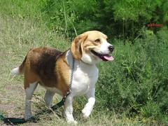 My Beagle (pat.bluey) Tags: beagle australia coco newsouthwales mydog coth warilla spiritofphotography 1001nightsmagiccity 1001nighjts