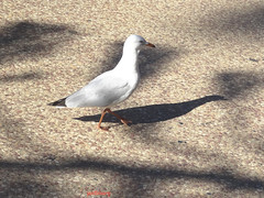 Sea Gull (pat.bluey) Tags: seagull terrigal newsouthwales australia light shadows bird 1001nights 1001nightsmagiccity