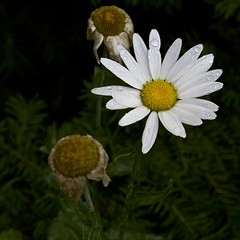 remains of the day (Pejasar) Tags: white oklahoma wet water beauty rain garden drops blossom daisy bloom tulsa fadingglory