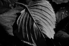 20151120_DP3M6378 (NAMARA EXPRESS) Tags: park autumn shadow blackandwhite monochrome japan closeup leaf outdoor fine sigma osaka merrill foveon toyonaka deadleaf dp3 namaraexp