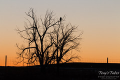 November 22, 2015 - A Bald Eagle watches the sunrise in Commerce City. (Tony's Takes)