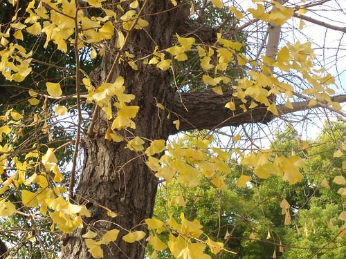 黄葉した境内の木