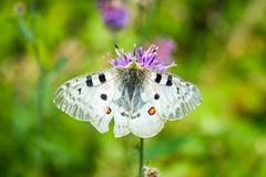 Papillons 5 (Maxime Bonzi) Tags: photo france queyras flowers flower image arvieux hautes fleur montagne butterfly papillon pics alpes vallée verdoyant herbe fleurs herbes
