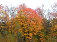 20151014_172839 (plussed) Tags: autumn fall maple foliage acer sugarmaple saccharum fall2015